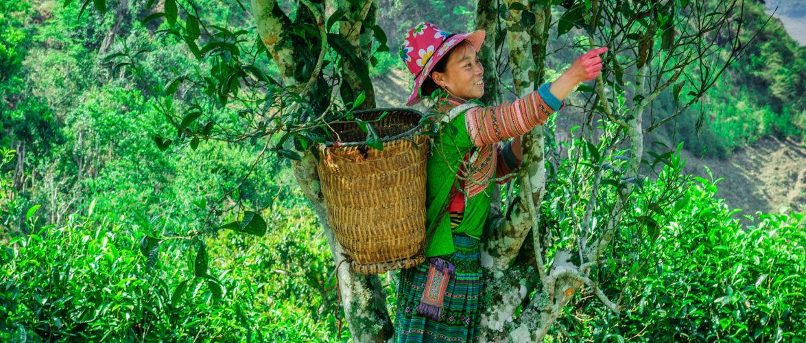 cây chè Việt Nam