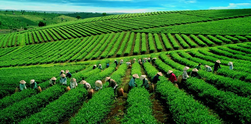 Đồi trà Ô Long