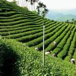 Vườn trà Ô Long