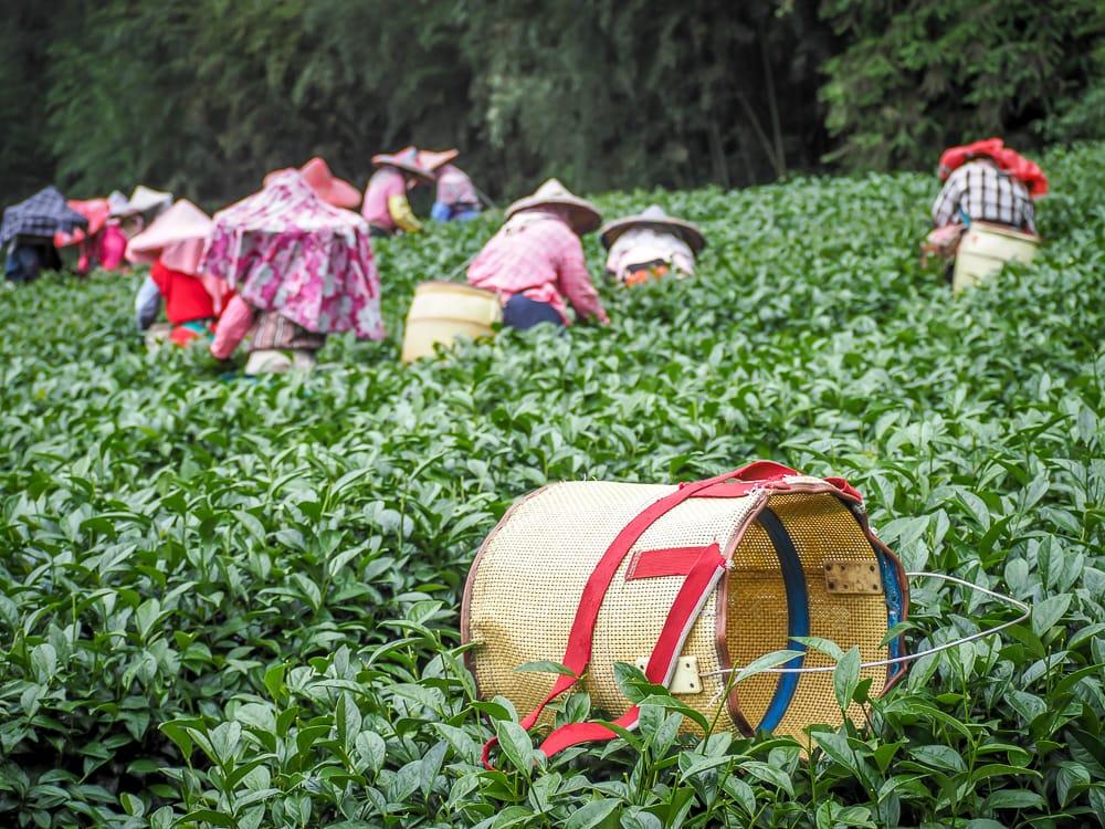 Đồn điền trà ở Shizhuo