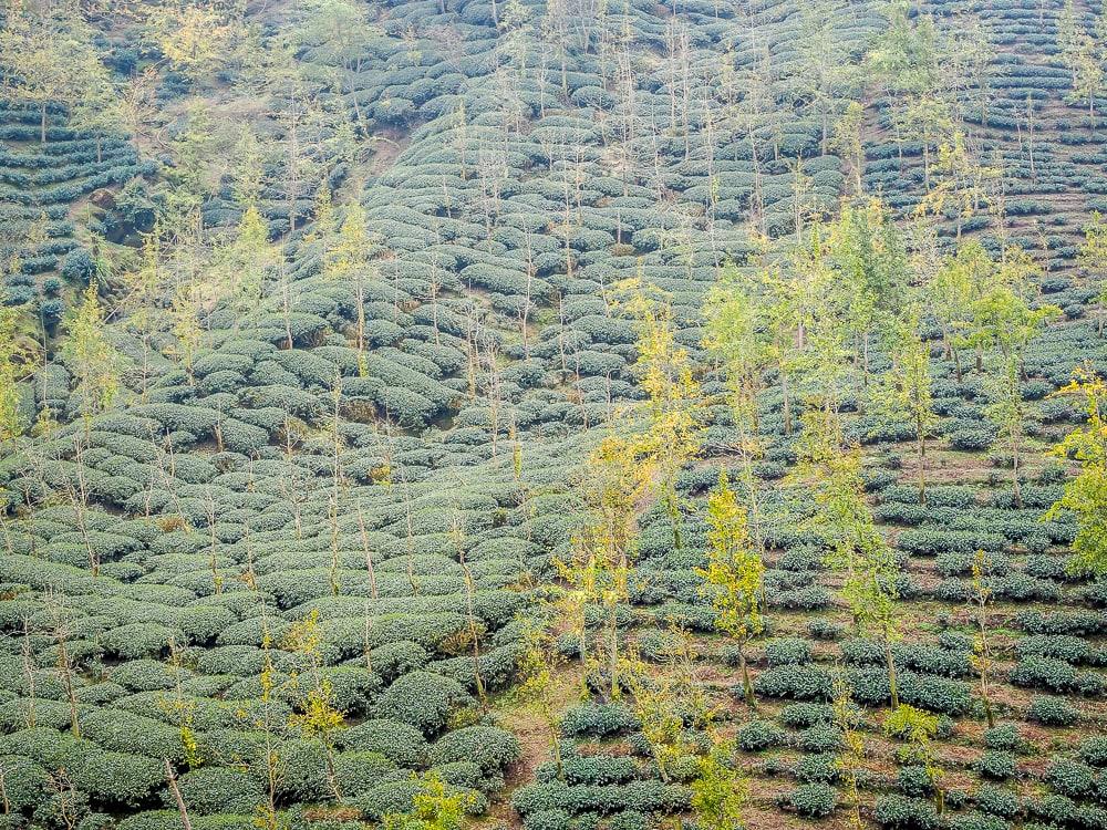 Đồn điền trà Alishan