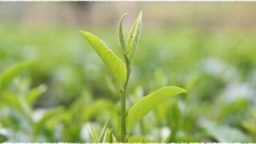 Bạn đã biết cách chọn trà xuân?